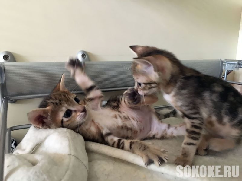 Sokoke Kitten 1 June 2017